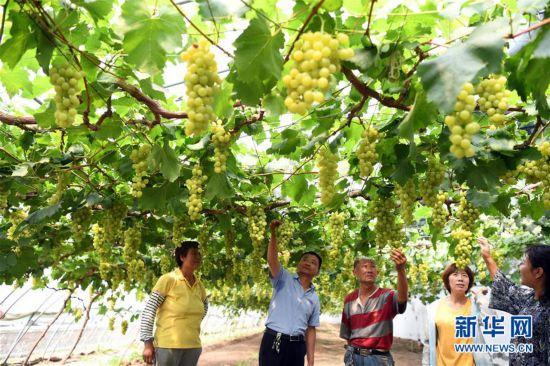 (社会)(4)天津武清:大棚葡萄迎来丰收季