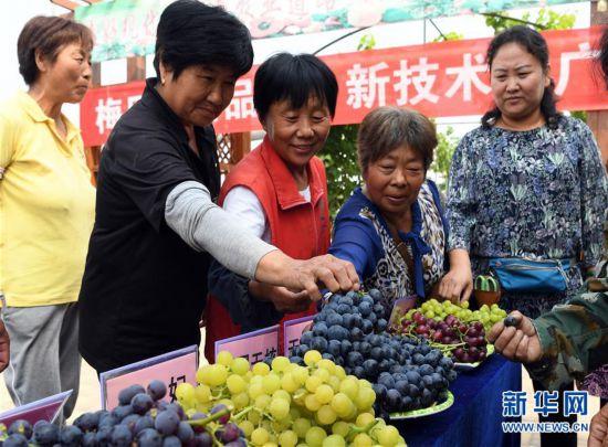 (社会)(7)天津武清:大棚葡萄迎来丰收季