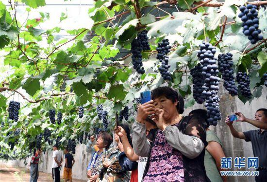 (社会)(3)天津武清:大棚葡萄迎来丰收季
