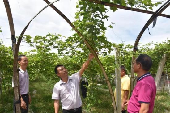 万宁百香果种植面积达6000亩 成农民增收致富新产业