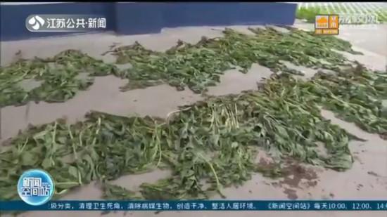 宿遷六旬老漢種800株罌粟獲刑6個月:聽說這種花很好看