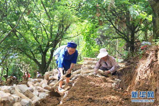 (新华网)(2)贵州黔西南:林下菌药种植忙