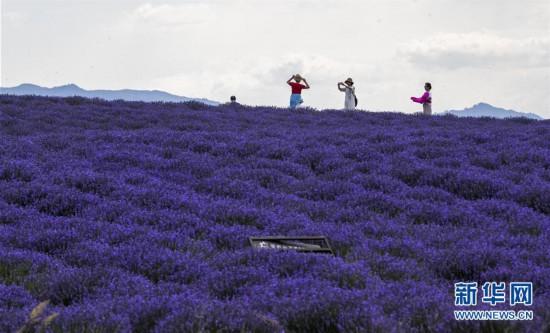 """(社会)(1)新疆:""""紫色""""铺就致富路"""