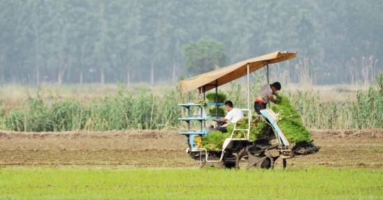 徐州沛縣沿湖地區21萬畝水稻機插秧全面展開