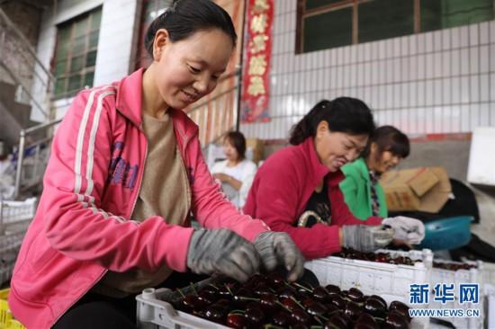 (经济)(4)甘肃天水:秦州大樱桃收获忙