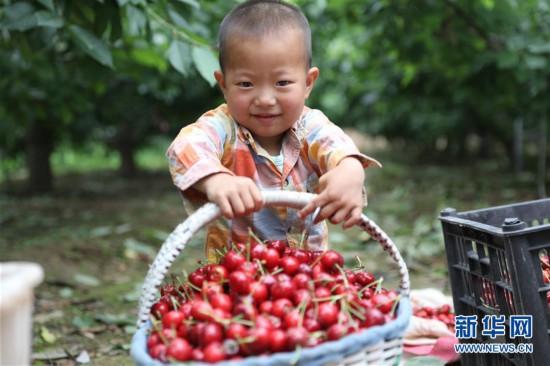(经济)(2)甘肃天水:秦州大樱桃收获忙