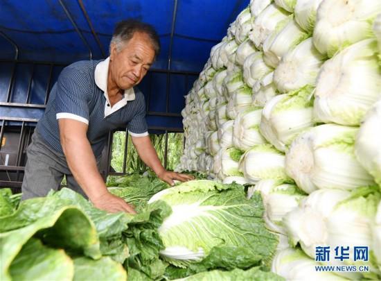 """(社会)(2)河北乐亭:优质蔬菜保障首都""""菜篮子"""""""