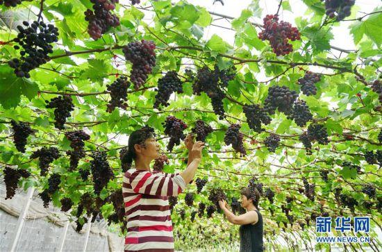 """(经济)(1)河北滦州:果蔬种植鼓起农民""""钱袋子"""""""