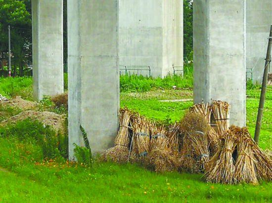 滬蘇通大橋通車在即 北橋頭堡周圍環境需改進