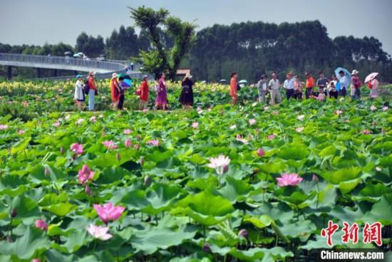 广西覃塘3000亩荷塘开园350多个品种亮相上演荷花盛宴