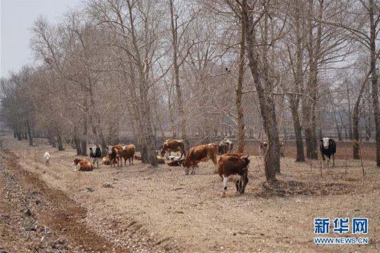 """(新华视点・图文互动)(5)苗木有的枯死有的遭牛羊啃食……河北沽源多处林带为何""""种树不见树""""?"""