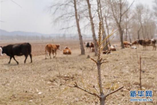 """(新华视点・图文互动)(6)苗木有的枯死有的遭牛羊啃食……河北沽源多处林带为何""""种树不见树""""?"""