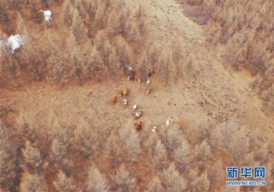 """(新华视点・图文互动)(11)苗木有的枯死有的遭牛羊啃食……河北沽源多处林带为何""""种树不见树""""?"""