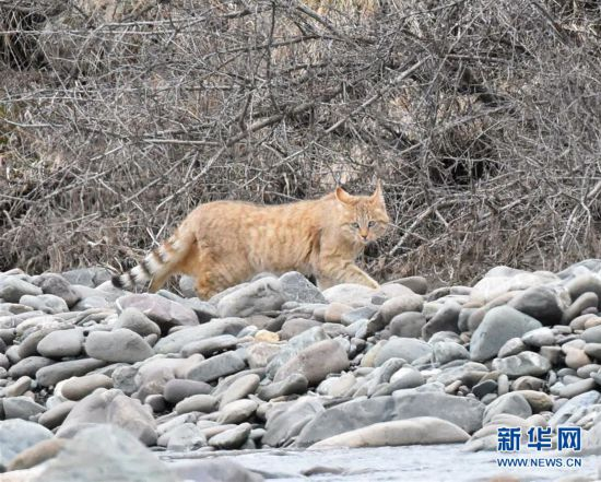(图文互动)(1)祁连山国家公园首个荒漠猫专项调查取得阶段性成果