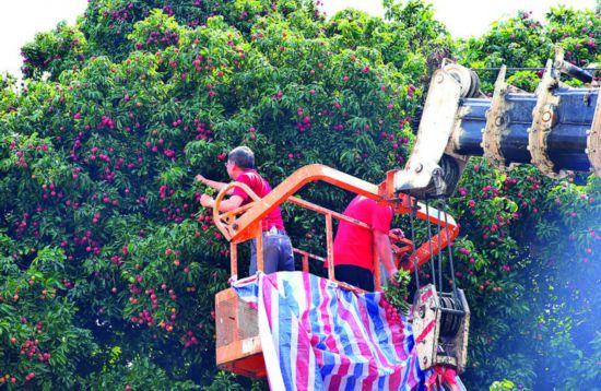 采摘10多米高的百年荔枝古树果实要借助吊车。惠州日报记者朱金赞 摄