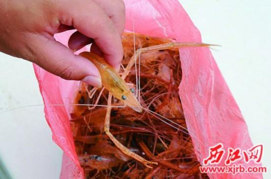 渔民张东兰捕获的西江河虾个头大、数