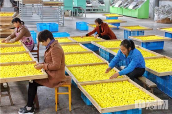 46,贡菊是徽州地区的传统名产,徽菊与杭菊、滁菊、亳菊并称中国四大名菊。(摄影:潘立�N).jpg