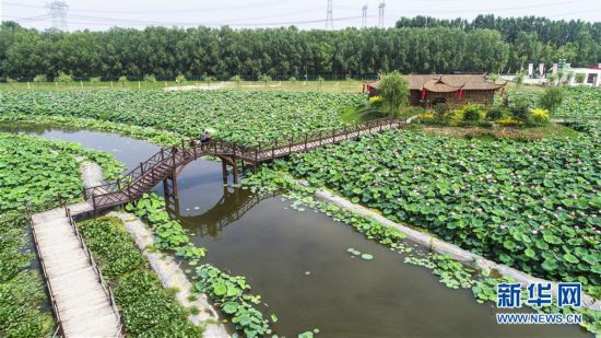 (环境)(1)河北香河:荷花盛开乐游人