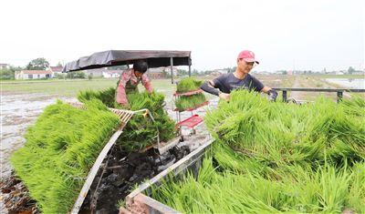 南通海安推廣水稻機械化插秧技術 作業效率提高