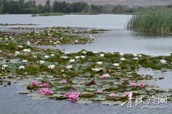 朵朵荷花,折射贵德生态之美(5554298)-20200704101447.jpg