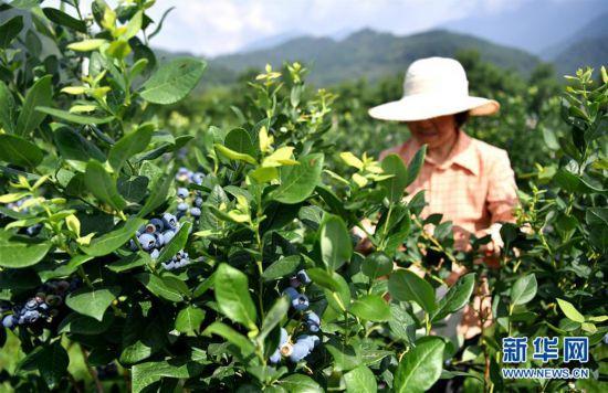 莓类产业助增收