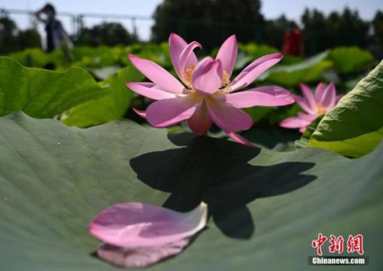 円明園のハスの花基地で二代目の花を咲かせた古いハス(撮影・崔楠)。