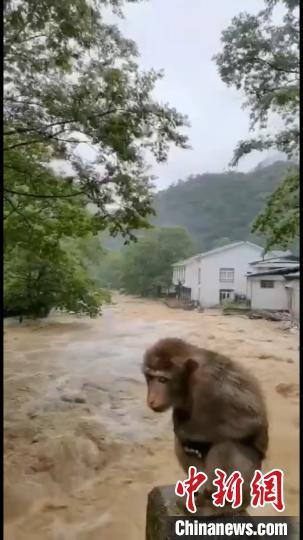 9日、武夷山桐木村の橋の上に「避難」するサル。(画像は動画のスクリーンショット)