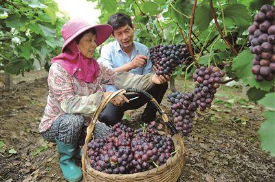 宜兴:地产葡萄开采