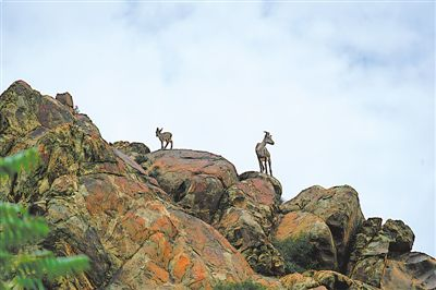 邂逅賀蘭山岩羊