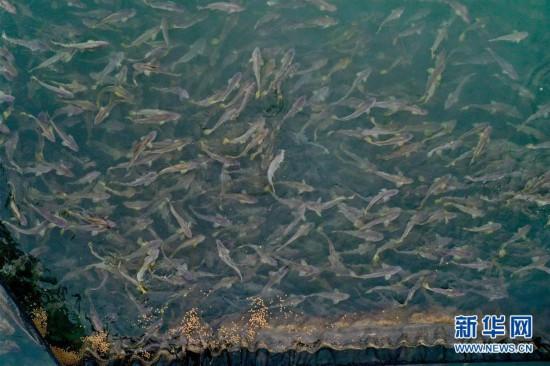 福建宁德:一尾黄鱼游出百亿产业