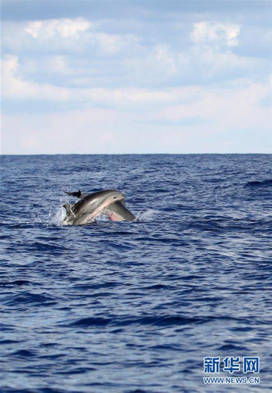 (环境)(5)科研人员在南海记录短肢领航鲸与弗氏海豚混游现象