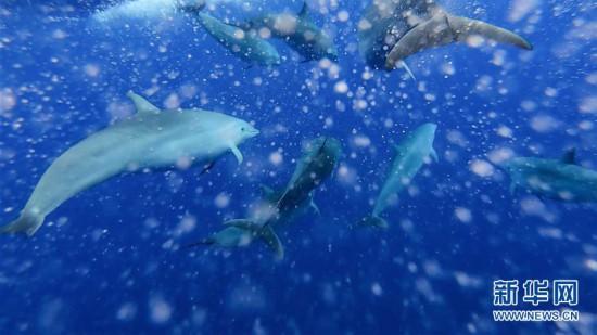 (环境)(6)科研人员在南海记录短肢领航鲸与弗氏海豚混游现象
