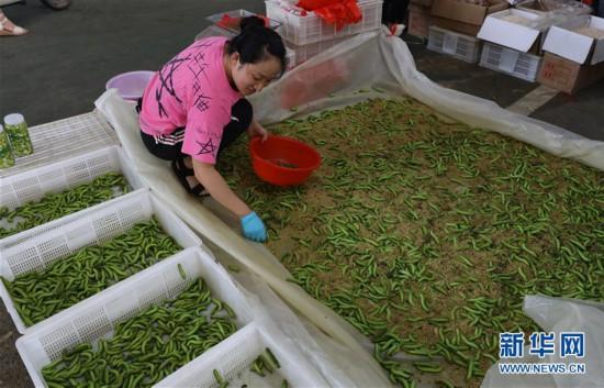 (经济)(1)江苏灌云:变害为宝  打造豆丹特色产业