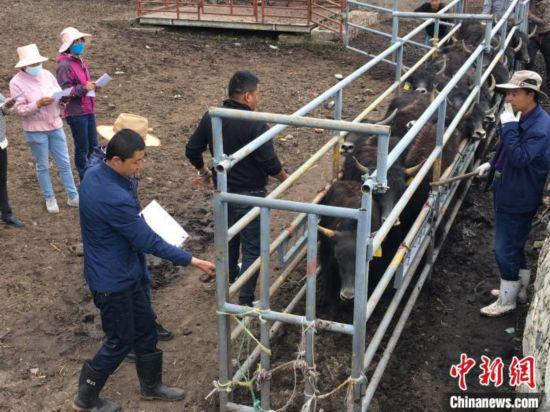 青海大通牦牛:连结青藏两地助推牦牛产业