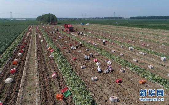 (经济)(1)河北滦南:烟薯丰收