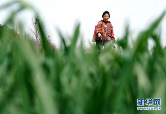 (在习近平新时代中国特色社会主义思想指引下――新时代新作为新篇章・习近平总书记关切事・图文互动)(4)食为政首――稳住农业基本盘增添发展底气