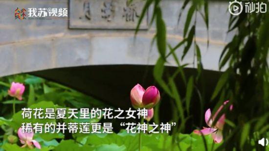 心疼!南京玄武湖并蒂莲被外地游客摘下来了