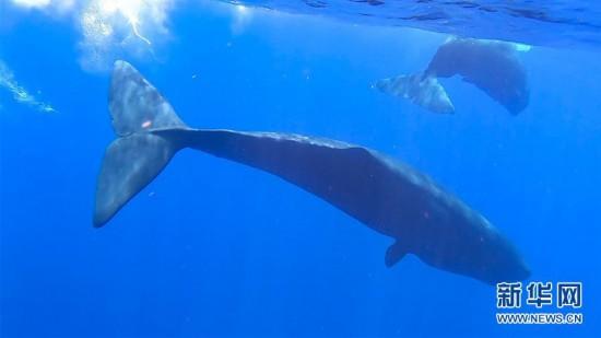 (新华视界)(5)我国科研人员在南海记录到抹香鲸等11个鲸类物种