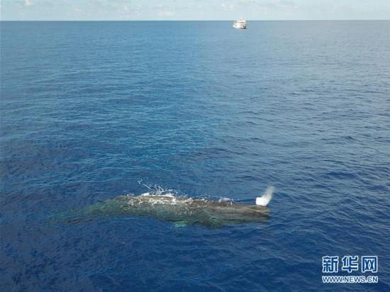 (新华视界)(9)我国科研人员在南海记录到抹香鲸等11个鲸类物种