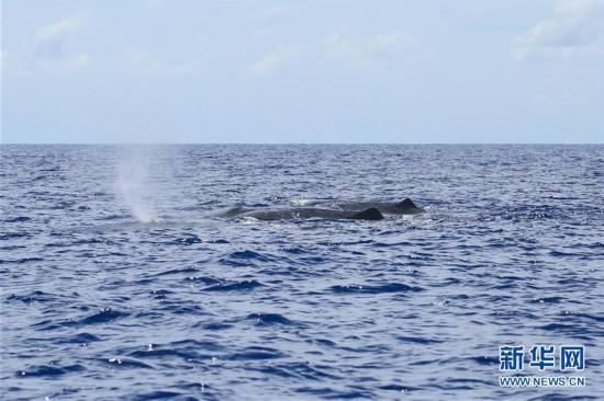 (新华视界)(1)我国科研人员在南海记录到抹香鲸等11个鲸类物种