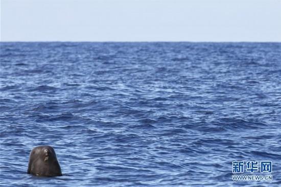 (新华视界)(4)我国科研人员在南海记录到抹香鲸等11个鲸类物种