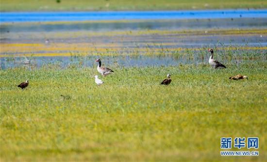 (环境)(1)候鸟安居鄂尔多斯湿地