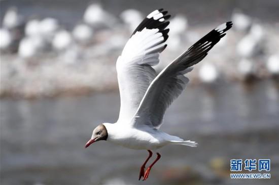 (环境)(5)鸥鸟翔集沙柳河