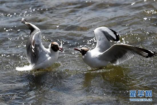 (环境)(1)鸥鸟翔集沙柳河