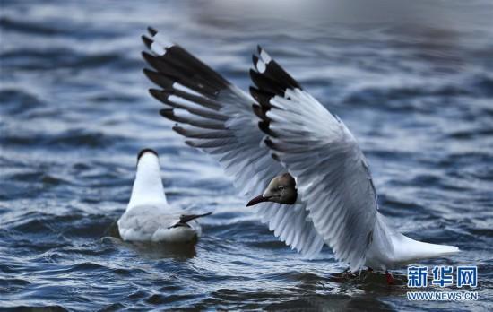 (环境)(2)鸥鸟翔集沙柳河