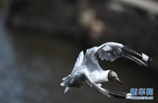 (环境)(3)鸥鸟翔集沙柳河