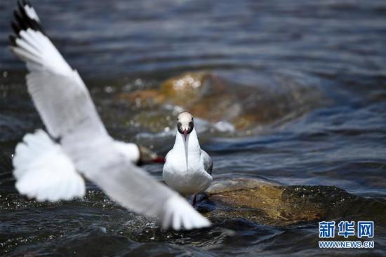 (环境)(4)鸥鸟翔集沙柳河