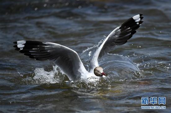 (环境)(6)鸥鸟翔集沙柳河