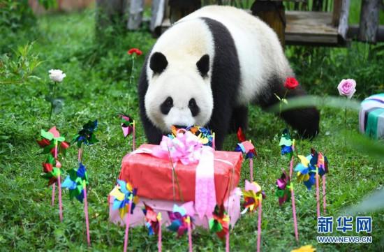 """(社会)(1)吉林:大熊猫""""初心""""与""""牧云""""迎来4岁生日"""