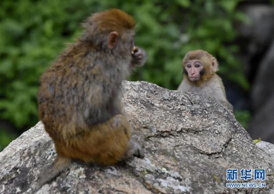 (环境)(1)雅鲁藏布江畔藏猕猴